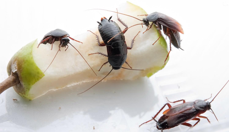 Черные тараканы в квартире как избавиться от них