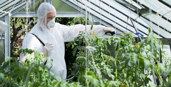 Как бороться с минирующей молью на томатах, можно ли есть помидоры после неё?