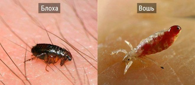 Как отличить блох от вшей, как они выглядят и в чём разница их укусов?