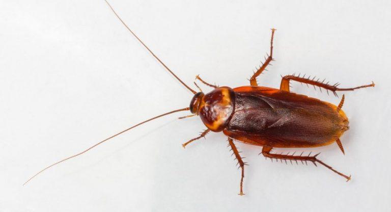 Как избавиться от рыжих тараканов