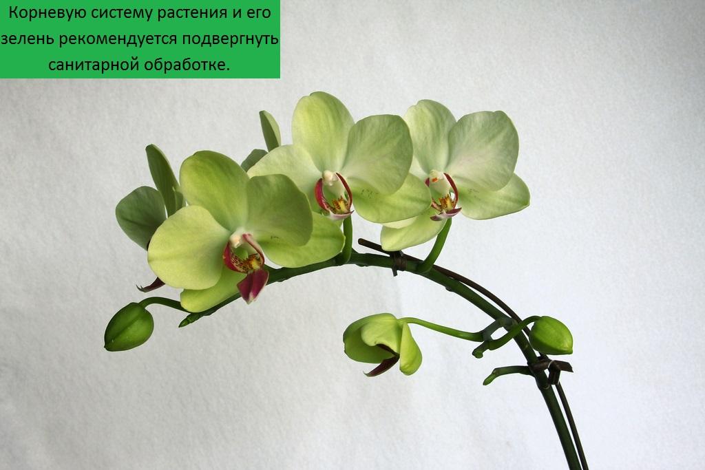 что делать если в орхидее завелись мошки, чем из вывести?