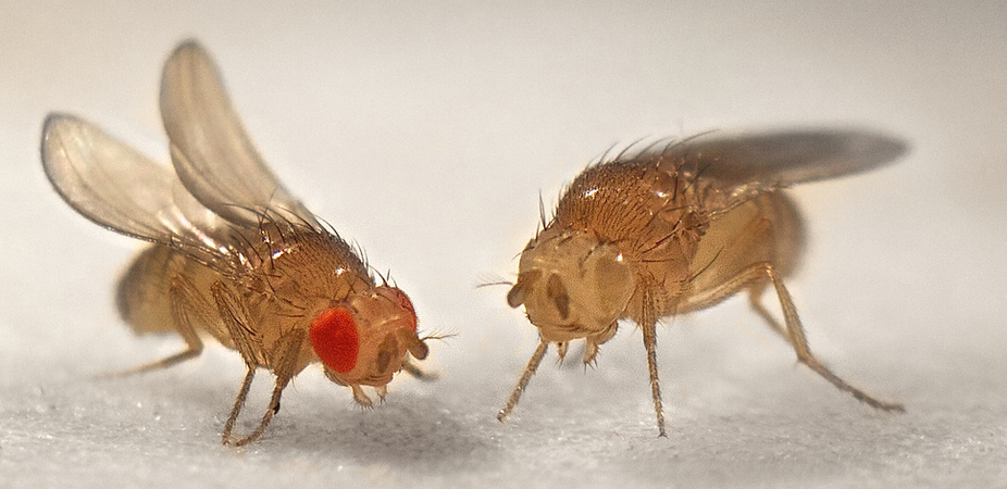 Мушка дрозофила или фруктовые мухи: размножение, личинки, срок жизни.