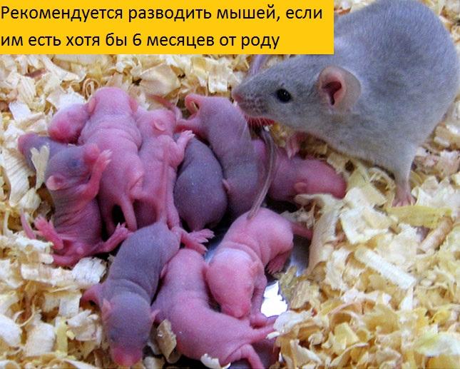 Как плодятся мыши: как рождаются, как часто размножаются, сколько мышей за один раз?