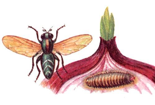 Как избавиться от луковой мухи и луковых мошек, какие средства использовать?