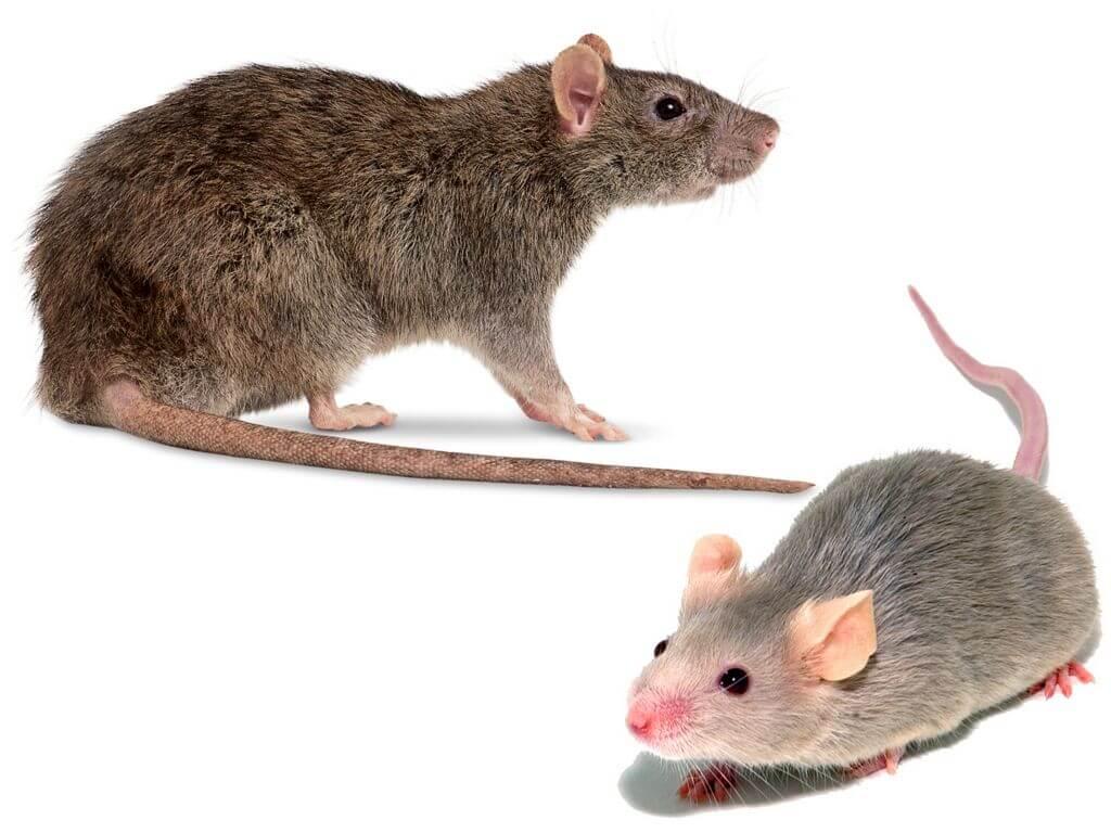 Чем отличается мышь от крысы (разница) - 5 отличий, взрослых особей и детенышей
