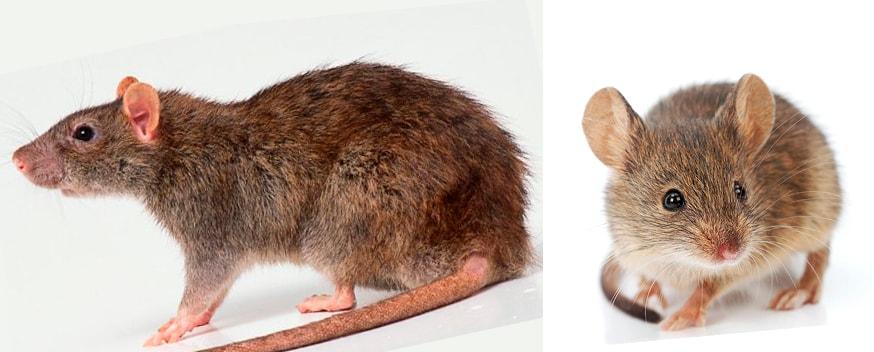 Мышь и крыса – чем они отличаются