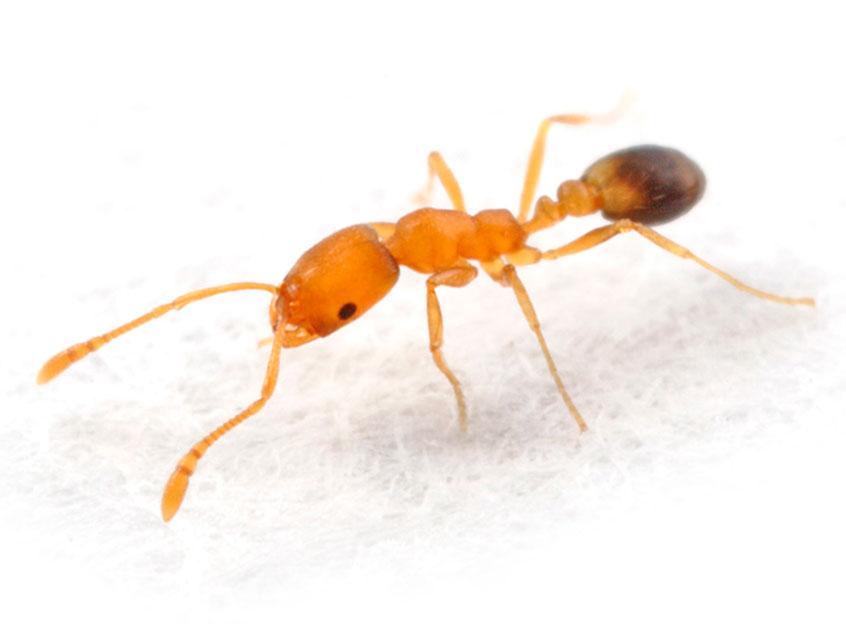 Фараоновы муравьи в квартире: как избавиться, методы борьбы