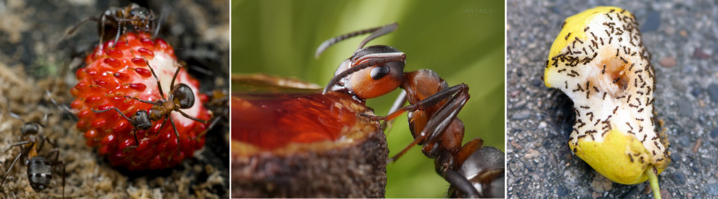 Чем питается муравей, особенности в еде разных видов