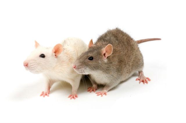 сколько крыса может прожить без еды и воды? А также другие факты