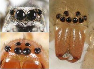 Глаза паука, сколько пар, где находятся и зачем так много?
