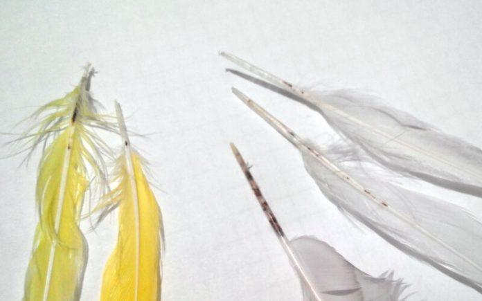 Чесоточный клещ у попугая, как лечить и опасен ли для человека?