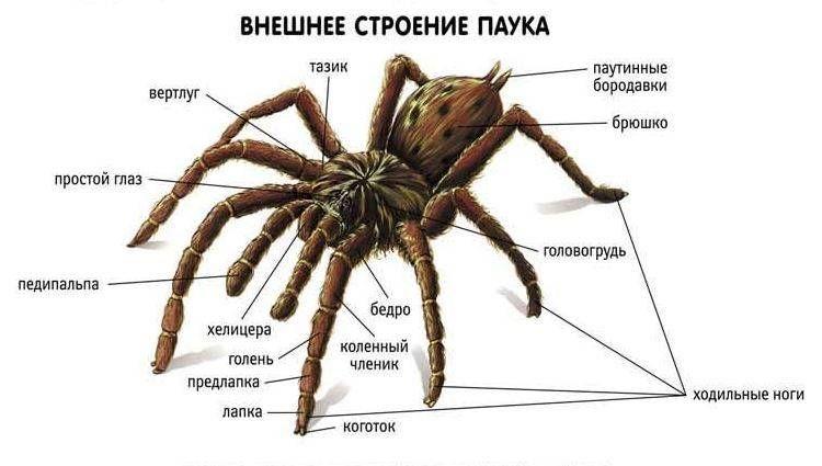 Как выглядит тарантул, есть ли они в России, насколько опасны?