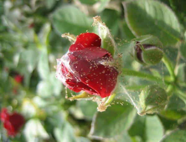 На розе появилась паутина — что делать?