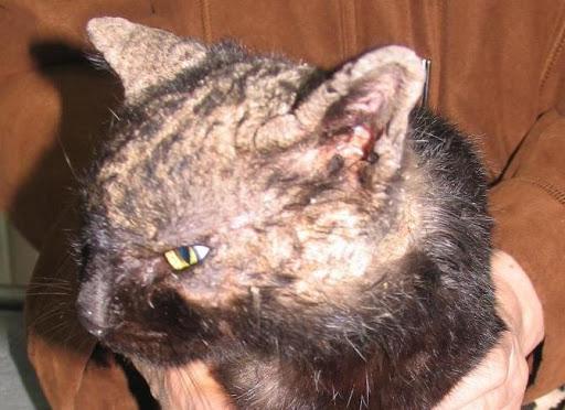 Стригущий клещ у кошек, как лечить в домашних условиях и медикаментами?