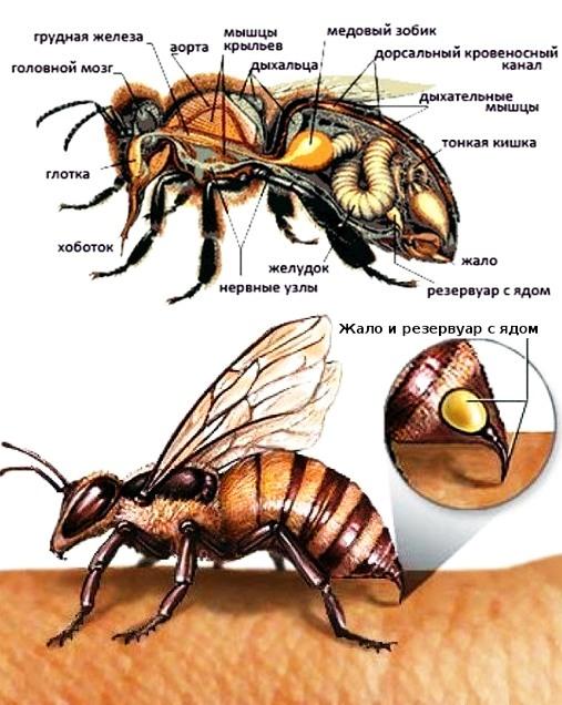 Укус пчелы: фото, последствие, эффективная помощь