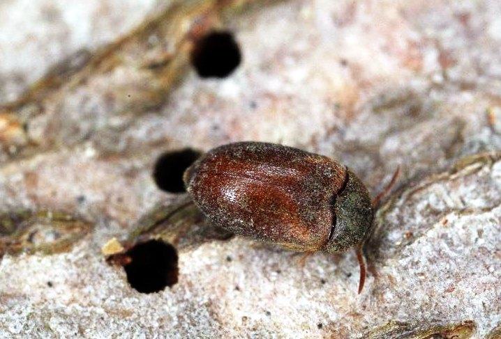 Вредоносный и опасный: жук кожеед – как избавиться быстро и навсегда