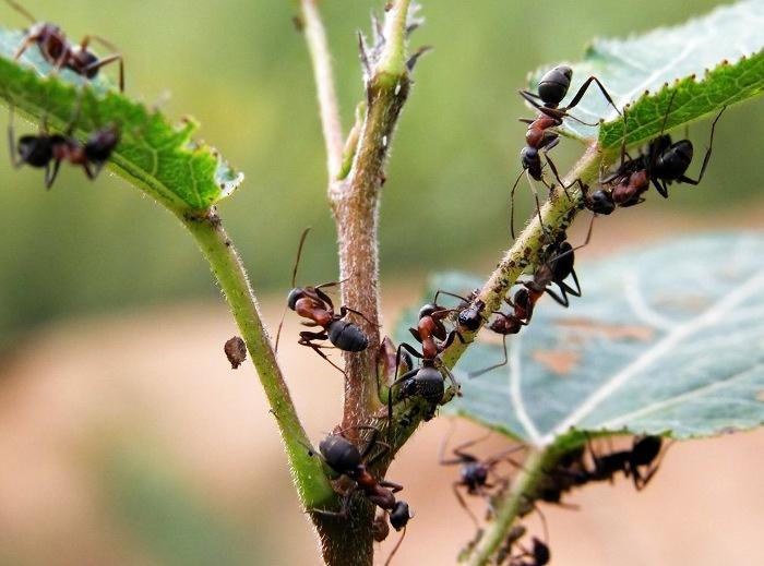 Как избавиться от муравьев на дачном участке: средства и советы