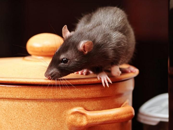 Как избавиться от крыс в курятнике: лучшие способы изгнания и стратегия защиты