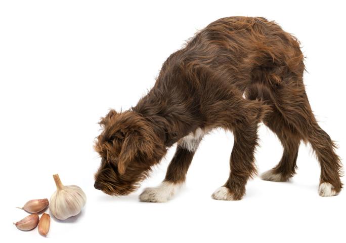 Блохи у щенка: как избавиться у щенков, средства и лечение 7