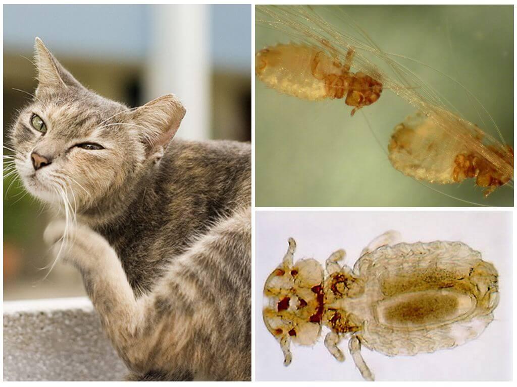 Живут ли вши на котах и могут ли заразиться кошачьими вшами люди?