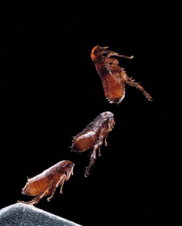 Как высоко прыгают блохи, летают ли они, какова длина прыжка?