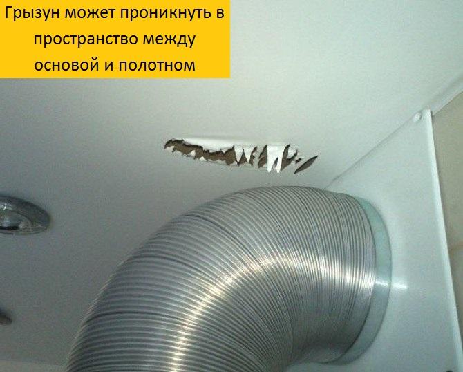 Мыши бегают по натяжному потолку: что делать, как избавиться?