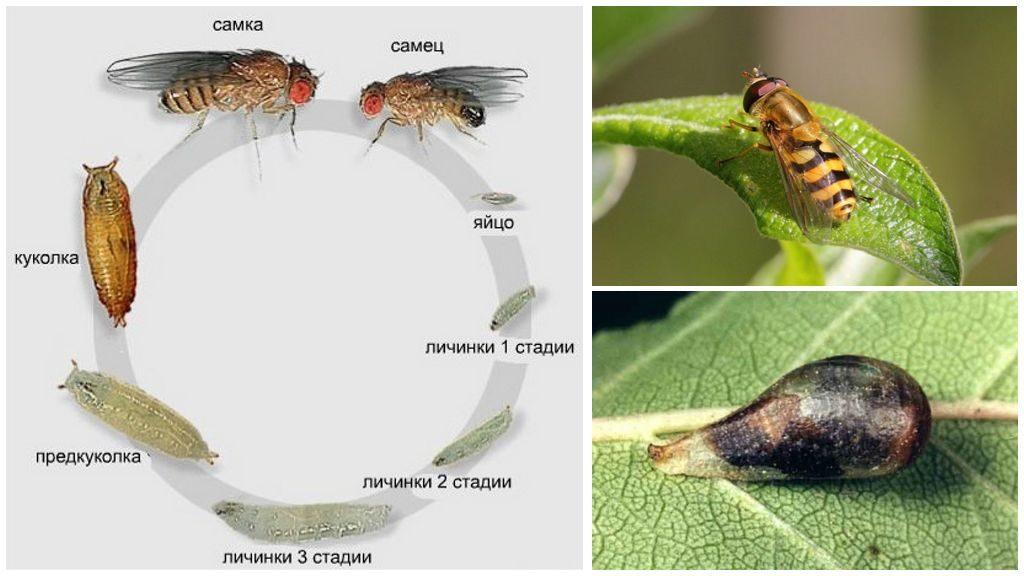 Осовидная муха журчалка, или муха сирфида - внешний вид и среда обитания.