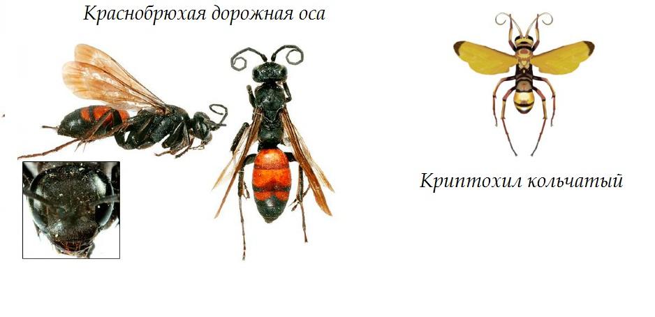 Черные осы - чем опасны и как от них избавиться?