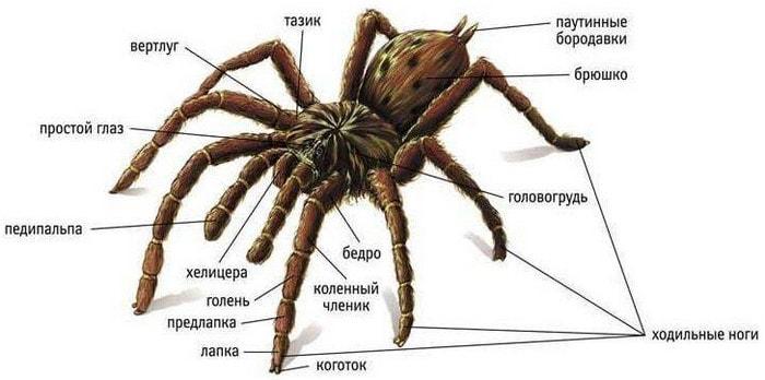 К какому классу относятся пауки - факты и виды