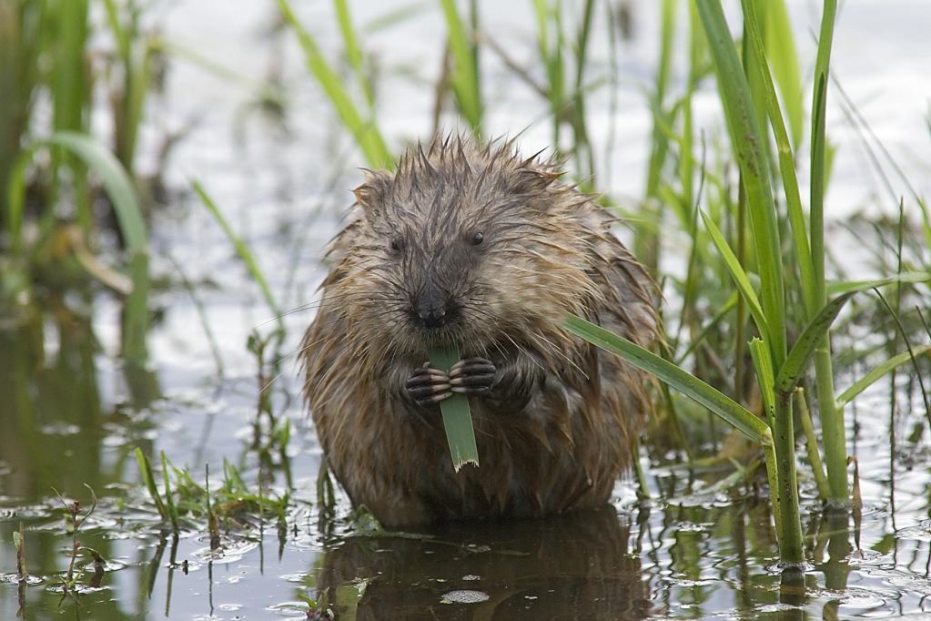 Как называется речная крыса, может ли она жить под водой, чем вредна для человека?