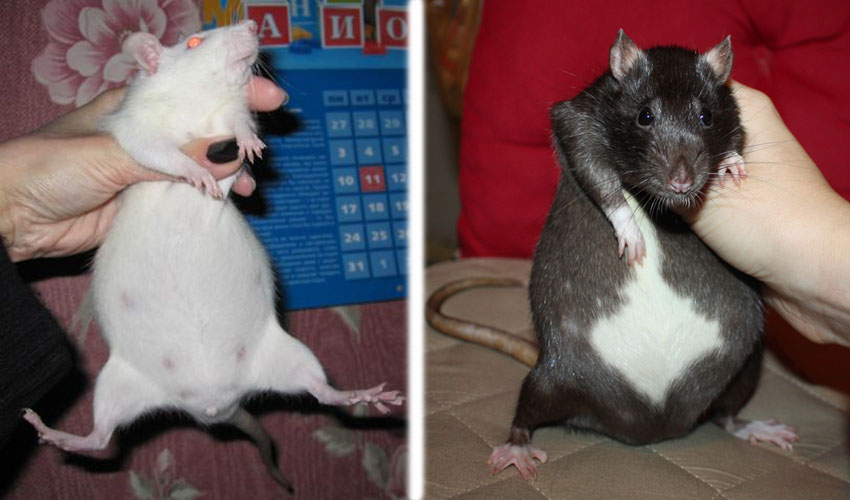 Сколько ходят беременные крысы, сколько у них рождается крысят, и другие вопросы.